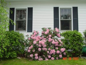 HOLLYBERRY_RhododendronsinBloominMay